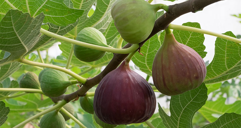 Fig dishes and desserts gain popularity on restaurant menus